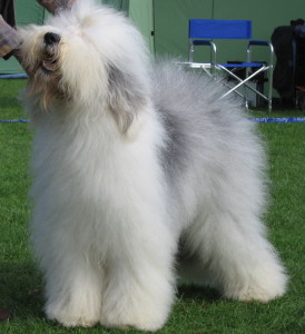 Old_english_sheepdog_Ch_Bobbyclown's_Dare_for_More