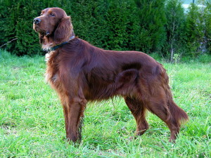 Can_Setter_dog_GFDL