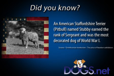 A pitbull was the most decorated dog in world war I and earned the rank of Sergeant